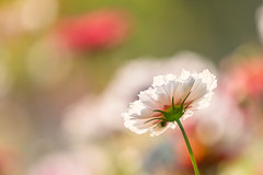 Summer Light (mclcbooks) Tags: flower floral cosmos denverbotanicgardens colorado summer