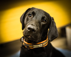Nero the hero (TrevKerr) Tags: dog dogportrait gundog puppy pup labrador black young nikon d750