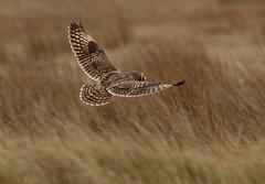 IMG_9924 (monika.carrie) Tags: monikacarrie wildlife seo shortearedowl forvie scotland owl