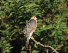 Sparrowhawk (jenny*jones) Tags: sparrowhawk raptor accipiternisus birdofprey westyorkshire gtbritain 2018 canon7dmarkii canon100400mmii birdphotography