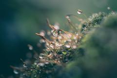Moss (michel1276) Tags: moss moos water drops tropfen regen raindrops macro makro leica leitzwetzlar apomacro10028