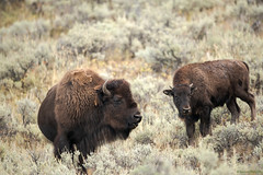 (Samuel Raison) Tags: bison buffalo wildlife nature naturephotography wildlifephotography lamarvalley yellowstone yellowstonenationalpark yellowstonewildlife nikon nikond800 nikon4600mmafsgvr