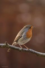 My little friend (Manon van der Burg) Tags: sigma100400mm canon80d gardenbird birdwatcher birdphotography birdlover birding birdwatching herfst autumn he'sback indetuin bird happydays robin roodborstje