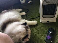 Misc - Meh (rbatina) Tags: rubbertoe random misc photo picture shot shots november 4th 4 2018 cat kitty white old fur furry hair hairy persian spoiled happy peaceful content