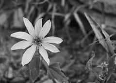 Late Bloomer (Helen Orozco) Tags: monochromebokehthursday hmbt maximilliansunflower raw bokeh monochrome