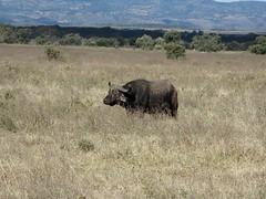 African buffalo - Syncerus caffer (Linda DV) Tags: africanbuffalo capebuffalo synceruscaffer bovidae artiodactyla lindadevolder africa 2018 lumix travel geotagged nature kenya fauna nakuru lake nakurunationalpark