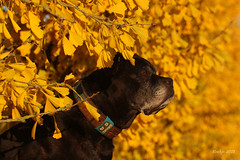 IMG_012437 - Golden leaves (Monique van Gompel) Tags: 2dwf leaves goldenleaves zaynah nature autumnleaves autumncolors canecorso dogportrait hond pet huisdier tamronsp90mmf28dimacro11vcusd canoneos80d