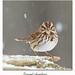 Bruant chanteur  / Song Sparrow 153A3776 (salmo52) Tags: oiseaux birds salmo52 alaincharette bruantchanteur songsparrow victoriaville réservoirbeaudet melospizamelodia passériformes emberizidés emberizidae