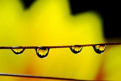 Reflex (Giuseppe Oricchio) Tags: drop nikon 40mm reflex macro microdrops flower nikkor giuseppeoricchio closup flowers coloseups drops reflexinthedrops yellow water goccia riflesso fiore girasole sunflower profonditàdicampo giallo