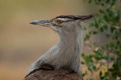 Kori Bustard (leendert3) Tags: leonmolenaar southafrica krugernationalpark wildlife nature birds koribustard ngc coth coth5 npc