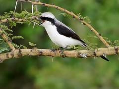 Grey-backed Fiscal (steinerattila) Tags: ethiopia birds shrike