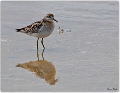 Sharp-tailed Sandpiper (Bear Dale) Tags: bear dale sharptailed sandpiper a few more shots these birds scientific name calidris acuminata ulladulla southcoast new south wales shoalhaven australia beardale lakeconjola fotoworx milton nsw nikond850 photography framed nature nikon d850 nikkor afs 200500mm f56e ed vr seashore seabirds bird birding naturephotography naturaleza estuary saltwater sand