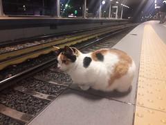 A cat waiting for the train, μια γάτα περιμένει το τρένο, bir kedi treni bekliyor. #Athens #Atina #Αθήνα (sentatopoulos) Tags: atina athens αθήνα cat waiting train ηρακλειο lovely animals hellas yunanistan ελλάδα ελλάσ kitty kedicik