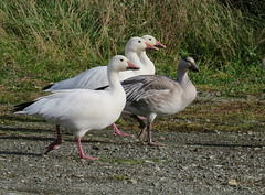 Snow Geese on the March (Shelley Penner) Tags: birds waterbirds geese snow juvenile adult vancouverisland
