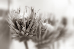 94/100: You can find beauty in the strangest places (judi may) Tags: 100xthe2018edition 100x2018 image94100 monochrome mono blackandwhite flowers driedflowers monochromebokehthursday bokeh depthoffield dof texture blur canon5d alwaystakeyourcamerawithyou