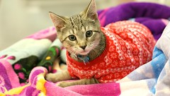 Staying warm has never looked so cool (Kerri Lee Smith) Tags: tabby tabbykitten pajamas adoptionkitten rescuekitten happycaturday rocko winter kitten kittens kitties cats felines