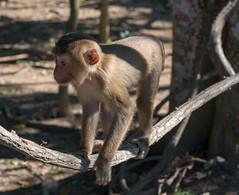 53601-Khao-Yai (xiquinhosilva) Tags: 2017 dongphayayen hintung khaoyai monkey mueangnakhonnayokdistrict nationalpark park thailand unescoworldheritage wildlife tambonmusi changwatnakhonratchasima th