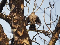 Predator (Céanndhubahn) Tags: abigfave scotland predator wings sparrowhawk