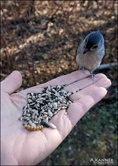 Eating Out Of Our Hands... (angelakanner) Tags: sonynex6 elizabethmortonbirdsanctuary titmouse seeds hand closeup
