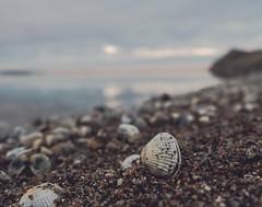 Cockle on the shore (Brian Dalgaard Mikkelsen) Tags: shells landscape nature limfjorden morsø denmark fjord clam cockle