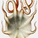 Seven arm octopus vintage poster