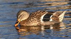 Mallard - Dec-24-2018 (39-1) (JPatR) Tags: 2018 december foxrivervalley illinois kanecounty mallard bird duck nature wildlife winter