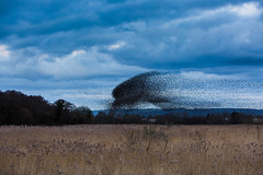 Starling Murmurations at Shapwick Heath (ejwwest) Tags: shapwickheath hamwall rspb wildlife reedbeds scotland birds somersetlevels murmurations starlings marshes somerset starlingmurmurations