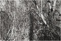im korkus 278 (beauty of all things) Tags: eschweiler wald forest imkorkus wirrwarr tangle entropy dschungel jungle bw sw gestrypp gestrüpp scrub