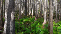 Cypress Swamp at Highlands Hammock State Park, Highlands, FL. (Pablo L Ruiz) Tags: highlandshammockstatepark cypress ferns trees swamp florida tamron18400mmf3563