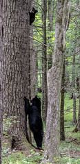 Mama and her cub (TDog54Photography / TCS Photography) Tags: black bear bears smoky mountains tennessee cades cove wildlife wild life animal american north america ursus americanus animals forest national park great cubs cub