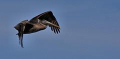 DSC_8773 (Paul_1961) Tags: brownpelican palafoxpier brown pelican bird wildlife birds flight pensacola florida northwest nikon d7200 panhandle