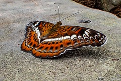 180727-046 Papillon (2018 Trip) (clamato39) Tags: papillon butterfly cambodge cambodia asia asie nature wild animal voyage trip olympus