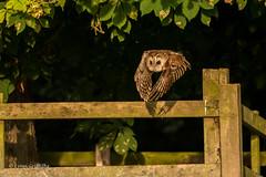 Tawny Owl at twilight D85_4273.jpg (Mobile Lynn) Tags: bird owls nature tawnyowl fauna strigiformes strixaluco wildlife nocturnal coth specanimal coth5 ngc npc