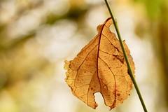 Blatt (izoll) Tags: macro blatt herbstblatt herbstfarben herbst izoll sony alpha77ii natur naturaufnahmen nahaufnahme wald jahreszeiten