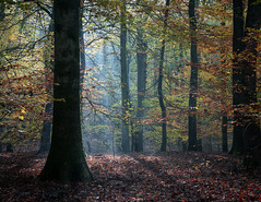 Morning light (davebennettnaturephotography) Tags: autumn woodland forest trees beech leaves light sunlight landscape nikon colour