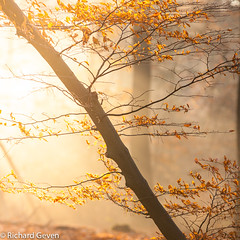 Last leaves (Richard Geven) Tags: beauty trees fresh air leaves autumn sunlight backlight forest netherlands cold morning
