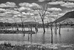 flooded valley (gnarlydog) Tags: queensland australia monochrome blackandwhite bw landscape lake dam trees flooded sky clouds manualfocus adaptedlens refittedlens fzuiko32mmf17 vintagelens rural
