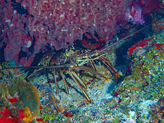 Caribbean Spiny Lobster with a pet Trumpetfish (oceanzam) Tags: lobster caribbean scuba diving ocean sea water blue colors colorful outdoors nature animal cozumel mexico beach coral reef underwater light shadow travel aquatic marine agua scubadiving buceo diver eyes earth