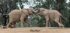 Tusk Wrestling (ToddLahman) Tags: africanelephant mammal male tusk wrestling portrait beautiful outdoors sandiegozoosafaripark safaripark elephants elephantvalley elephant nikond500 nikonphotography nikon photooftheday photography photographer