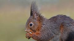 Eichhörnchen (karinrogmann) Tags: eichhörnchen squirrel scoiattolo