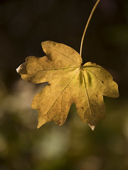 Feuille d'or (Titole) Tags: leaf golden titole nicolefaton yellow shallowdof