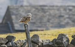 Asio Flammeus. (nondesigner59) Tags: asioflammeus shortearedowl perched predator owl nature wildlife post copyrightmmee eos7dmkii nondesigner nd59
