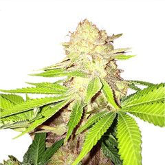 strawberry-kush-seeds_large (Watcher1999) Tags: kush strawberry marijuana strains cannabis strain indica stress pain reliever relief medical seeds growing plant smoking weed weeds ganja legalize it
