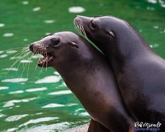 Fighting Sea Lions (Miracle Man) Tags: nikond750 nczoo sealion mammal fauna wildlife zoo marine
