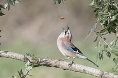 Jay (Garrulus glandarius) in Holm Oak (phil winter) Tags: jay garrulusglandarius holmoak acorn