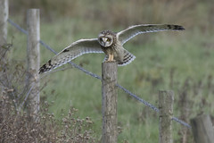 Short Eared Owl landing on roadside perch (Ade Ludlam) Tags: short eared owl somerset raptor bird prey nature wildlife nikon d7200 sigma sigma150600