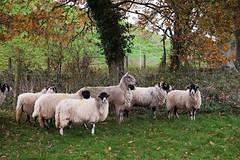 64 of Year 5 - Ram and his ladies (Hi, I'm Tim Large) Tags: sheep ram haren ladies ewes group flock 365 64 fuji fujifilm xe1 1855mm cheddar