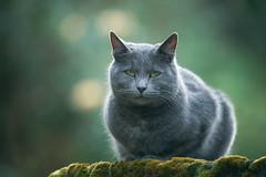 Grey cat (Marc Andreu) Tags: chat cat animal outdoor eyes yeux yellow green jaune look vert velue bokeh hairy nature noir blacl mignon regard patte kitten chaton animaldecompagnie marcandreu extérieur félin mammifère