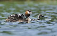 Perkoz dwuczuby/ Great crested grebe (mirosławkról) Tags: wild wildlife animal bird water pond lake grebe 150600 nikonnaturephotography nature chicks silesia green