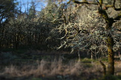 Camassia (Tony Pulokas) Tags: camassianaturalarea oregon westlinn tree oak oregonoak tilt bokeh blur thenatureconservancy autumn fall lichen evernia usnea forest